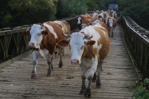 Nestaju čorde krava kojima se nekada ponosilo gotovo svako selo u novogradiškom kraju