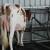 U listopadu prikupljeno 1.495 tona manje mlijeka nego godinu dana ranije