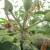 Efikasno proređivanje plodova jabuke sa Brevis SMART tehnologijom