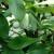 Indijanska banana, oblepiha, fežola, merala uspevaju i u Bačkoj Palanci