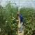 Šta raditi kod uvrtanja listova paradajza?