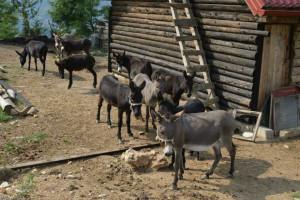 Prvi Muzej magaraca otvoren u Crnoj Gori - farmu posjetilo 57.000 ljudi