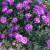 Pustinjska ruža - najljepši puzavac
