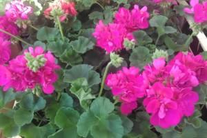 Repromaterijal sve skuplji, cene cveća ostaju iste