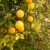 Sibirski limun mami poglede prolaznika