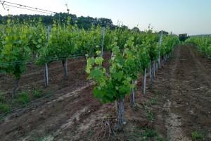 Kako održavati zemljište u vinogradu?