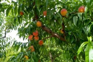 Zbog hiperprodukcije voća cene padaju i protiv toga ne možemo ništa?