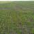 Nedavne padavine dobro došle nicanju pšenice