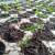 Sve o uzgoju uspešnog rasada