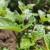 Krumpirova zlatica: Pelin, češnjak i malč od gorušice kao pomoć u zaštiti usjeva