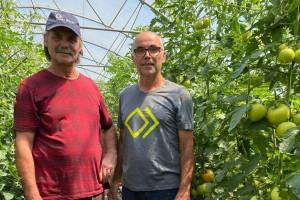 Jurkovići uzgajaju rajčice u kokosovim jastucima - očekuju do 20 etaža plodova