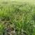 Promenljivo i oblačno - na usevima uočeni simptomi sive pegavosti pšenice