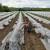 Prednosti uzgoja lubenica u plastenicima i niskim tunelima