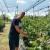 Perovići očekuju rod borovnice oko četiri tone, uprkos postojećim izazovima