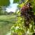 Cabernet Franc: Otporan na sivu plijesan daje vina cjenjena na tržištu