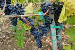 Dobar kvalitet grožđa u Pomoravlju - visoke temperature povećale procenat šećera