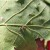Hrastova mrežasta stenica najopasnija po hrast lužnjak - može li se suzbiti?