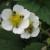 Na cvjetovima jagoda se pojavio štetnik Anthrenus pimpinellae - kako ga suzbiti