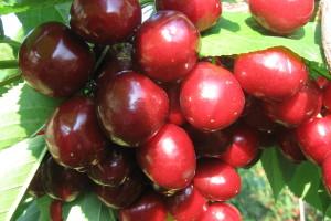Samooplodne sorte trešnje nisu za gajenje u monokulturi