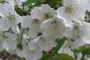 Sadnja trešnje: Pazite na međusobno oprašivanje sorti!