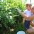 Berba borovnica na OPG Hodak: Prinos smanjen zbog mraza, ali kvaliteta zadovoljavajuća