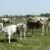Podolsko govedo se vraća na livade i pašnjake Posavine