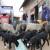 Prve četiri romanovske ovce kupili na nagovor, danas obitelj Jakovac ima vrijedno stado