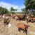Od gradske atrakcije do lijepog stada: Ivan Mofardin svakoj od 97 koza nadjenuo je ime