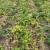 Propadanje cime: Krompirov moljac napada - provedite mjere kontrole