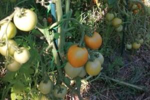 Što činiti kako bi spriječili pucanje plodova rajčice?