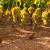Kako pravilno pomladiti ogranke i krakove na trsu vinove loze?