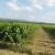 Zrna grožđa veća nego što bi trebalo - kakvo će biti vino?