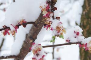 Dok je ratare snijeg obradovao, voćare brine duže razdoblje niskih temperatura