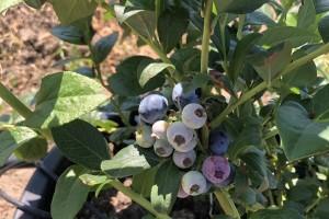 Da li je borovnica danas isplativa za uzgoj i pod kojim uslovima?