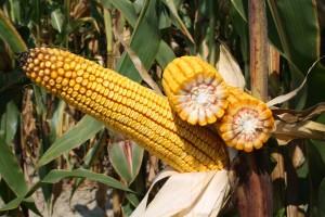 Inclusiv - novi vrhunski RWA hibrid kukuruza koji bi mogao postati najprodavaniji hibrid!