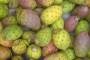 Indijska smokva - egzotično i ukusno voće