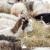 Mleko ovaca i koza koje se hrane senom, dobilo oznaku TSG