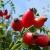 Jedina eko plantaža šipka u Slavoniji