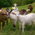 Specifičnosti ishrane koza