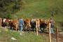Ispaša - učinkovita ishrana u planinskim regijama