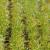Žuti se pšenica na njivama - ali je zdrava?