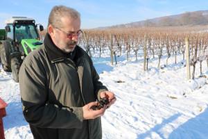 Ledena berba u vinogradu Ivice Peraka: Ubiranje smrznutih grozdova graševine za vrhunsku vinsku kapljicu