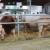 Vlada Srbije: Od ove godine 40.000 po grlu za priplodne krave i bikove