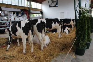 Dugovječnost u mliječnom govedarstvu donosi uštedu