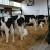 Dugovečnost u mlečnom govedarstvu donosi uštedu