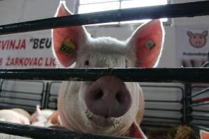 Vidović: Uvoza svinjskog mesa će biti dok god je cenom konkurentniji