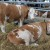 Minerali i vitamini ključni za plodnost goveda