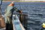 Izumire li divlji losos?