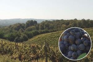 U valjevskom kraju sve više površina pod vinovom lozom