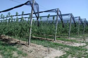 Zimska rezidba jabuke - izolacija vrhova provodnice